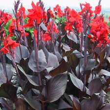 Canna Tropicanna Black - Canna Lily, Plant in 9cm Pot