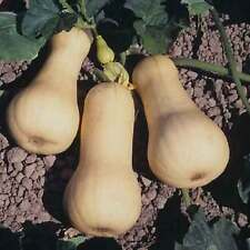 Heirloom Waltham Butternut Squash 10 Finest Seeds - Earliest to ripen