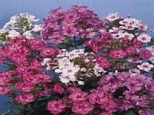 50 Phlox Seeds New Hybrids Mix Seeds FLOWER SEEDS
