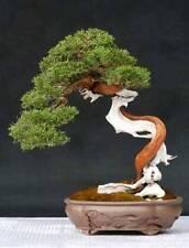 10 x english yew tree seeds. tree seeds qui peut être utilisé pour bonsai.