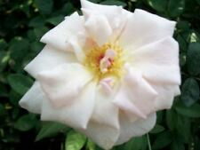 MME Antoine Mari Pink Blend Tea Rose Large 2 Gal. Bush Plants Shrubs Plant Roses