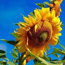 Certified Organic Russian Mammoth Sunflower Seeds (~25)): Non-GMO Sunflower Seed