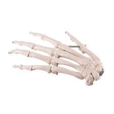 3B Scientific Left Hand Skeleton Anatomical Model Anatomy