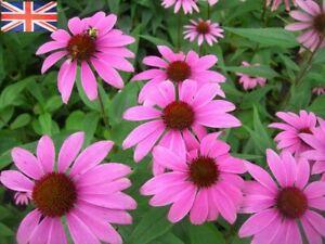 Echinacea - Ruby Star - Hardy Perennial Plant - 9cm Pot