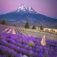 400 samen Schöne Lavendel Englisch Seeds Organisch Unbehandelt Kräutersamen L7H2