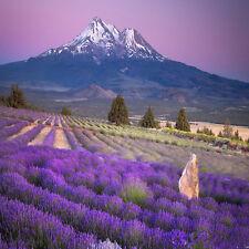 400 Samen Echter Lavendel - Lavandula angustifolia Lavendelsamen