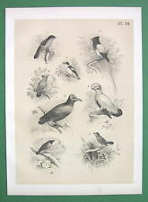 BIRDS Fly Catcher Waxwing Cock Paradise Snapper - Antique Litho Print