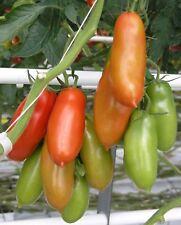 i! FLASCHENTOMATE !i festes Fruchtfleisch - aromatischer Geschmack - Tomatensoße