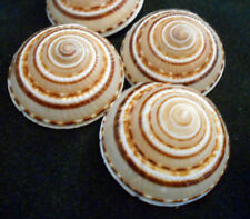 "3 Large Sundial Shells (Architectonia Perspectiva) 1.5-2"" Ocean Art Crafts Beach"
