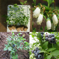 50Pcs Blueberry Tree Seed Fruit Blueberry Seed Potted Bonsai Seeds Plant Decor
