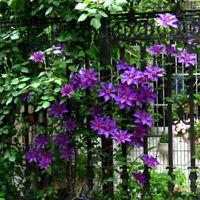 100stk Clematis Samen Lila Blumen Kletterpflanze Rankepflanze V4P7 Sichtsch E3I9