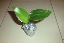 *PFLANZE* Strelitzia nicolai, weiße Paradiesvogelblume, kräftige Jungpflanze