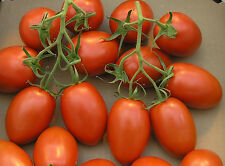 Tomate Roma Cereza incluye 10 mejores semillas-liveseeds