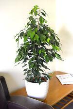 Indoor plant-Ficus Benjamina -Green Weeping Fig 60cm Tall- ON SALE