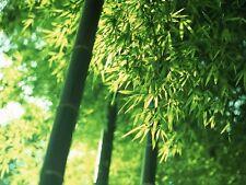 Moso Bamboo, Oriental Giant Bamboo, 20+ Fresh Seeds, Good Quality! UK STOCK !