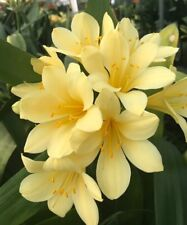 2x Clivia miniata YELLOW.  Advanced Pre-germinated Seed. UK National Collection