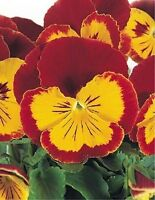 50 Pansy Seeds Joker Red And Gold Pansy Seeds