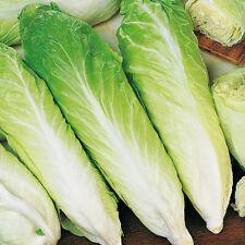 Suffolk Herbs - Chicory Pan de Zucchero Sugar Loaf - Organic - 250 Seeds