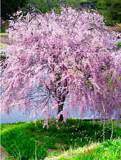 20 Pcs Fountain Weeping Tree Cherry Tree Seeds Pink DIY Home Garden Tree Seeds