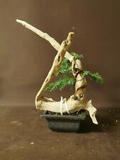 Bonsai tree tanuki  juniper starter/ semi trained great potential shohin