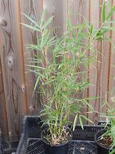4 x Fargesia robusta 'Campbell' Bamboe Bambou pot 3 liter