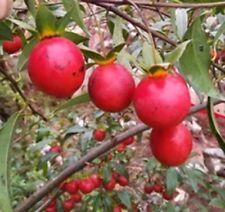 Diospyros cathayensis 10 rare Kaki Tree and Bonsai seeds