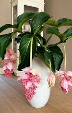 100PCs Medinilla Magnifica Seeds Beautiful Potted Plant Breathe Clean Air Home