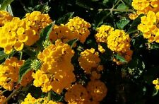 "Lantana Camara ""Gold Mound"" Golden Yellow; Flowering Plant Bush - Live Potted"