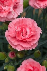 Dianthus Scent Romance Sundae x  9cm Organic Pot