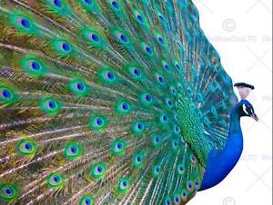 DT PRETTY PEACOCK ART 30x40 cms POSTER PRINT BMP11732