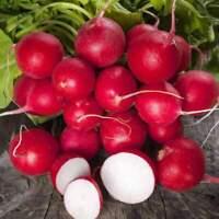 300+ Champion Radish Seeds | Non-GMO Heirloom | Fresh Vegetable Garden Seeds
