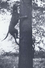 1972 Amateur Snapshot Photo Doberman Pinscher Dog Climbing A Tree
