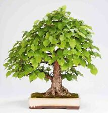 SMALL LEAF LIME - Tilia cordata - 25 seeds - BONSAI - SOW ALL YEAR