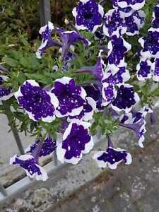Petunien * Nr.6 * Petunia * 50  Blumensamen * handverlesen