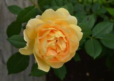 Golden Camellia 100 Pcs Herb Tea Chinese Home Garden Planting Seeds Summer