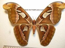 Real Butterflies/Insects/Moth Non set folded Very Large  Attacus atlas female