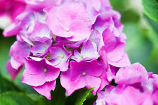 Hydrangea macrophylla 'Pia' 10-15cm In 2L Pot, Stunning Colours In Your Garden!