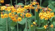 Primula Bulleyana (candelabra) - 50 Seeds - Hardy Perennial