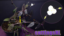 Gibasis sp. 'Jose Puig', cuttings available, RARE, similar to Tradescantia