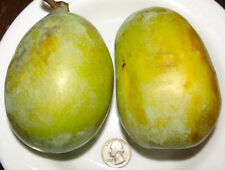 Pawpaw (Asimina triloba) seeds -Ultra-Select, Native,Excellent Genetics-NON-GMO