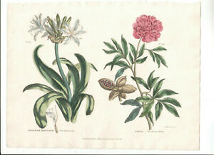 1816 Original Hand-coloured Botanical print, Green, Paeonia
