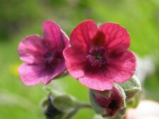 Chinese Forget-Me-Not Seeds Mystic Pink Annual Self Seeding Cynaglossum amabile