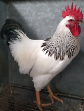 6 LIGHT SUSSEX LARGE FOWL HATCHING EGGS (believed fertile)