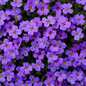 220 pcs Cascade Purple Aubrieta Flower Seeds Perennial Ground Cover Beautiful