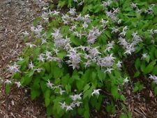 Epimedium Akebono perennial plant ideal ground cover any aspect 9cm pot