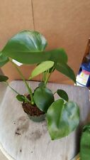 """Split Leaf Philodendron - Monstera - 6"""" Tall - Ship in 3"""" Pot"""