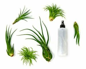 6 Air Plant Variety Pack | Large Tillandsia Terrarium Kit with Spray Bottle Mist