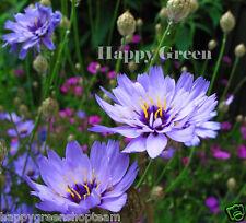 IMPIANTO D'AMORE - 60 semi-Cupid 's AMOR BLU-CATANANCHE caerulea-fiore