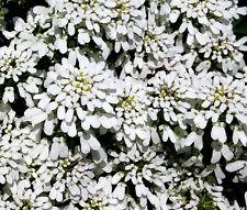 CANDYTUFT PERENNIAL EVERGREEN WHITE Iberis Sempervirens - 500 Bulk Seeds