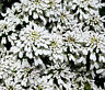 CANDYTUFT PERENNIAL EVERGREEN WHITE Iberis Sempervirens - 500 Bulk Seeds